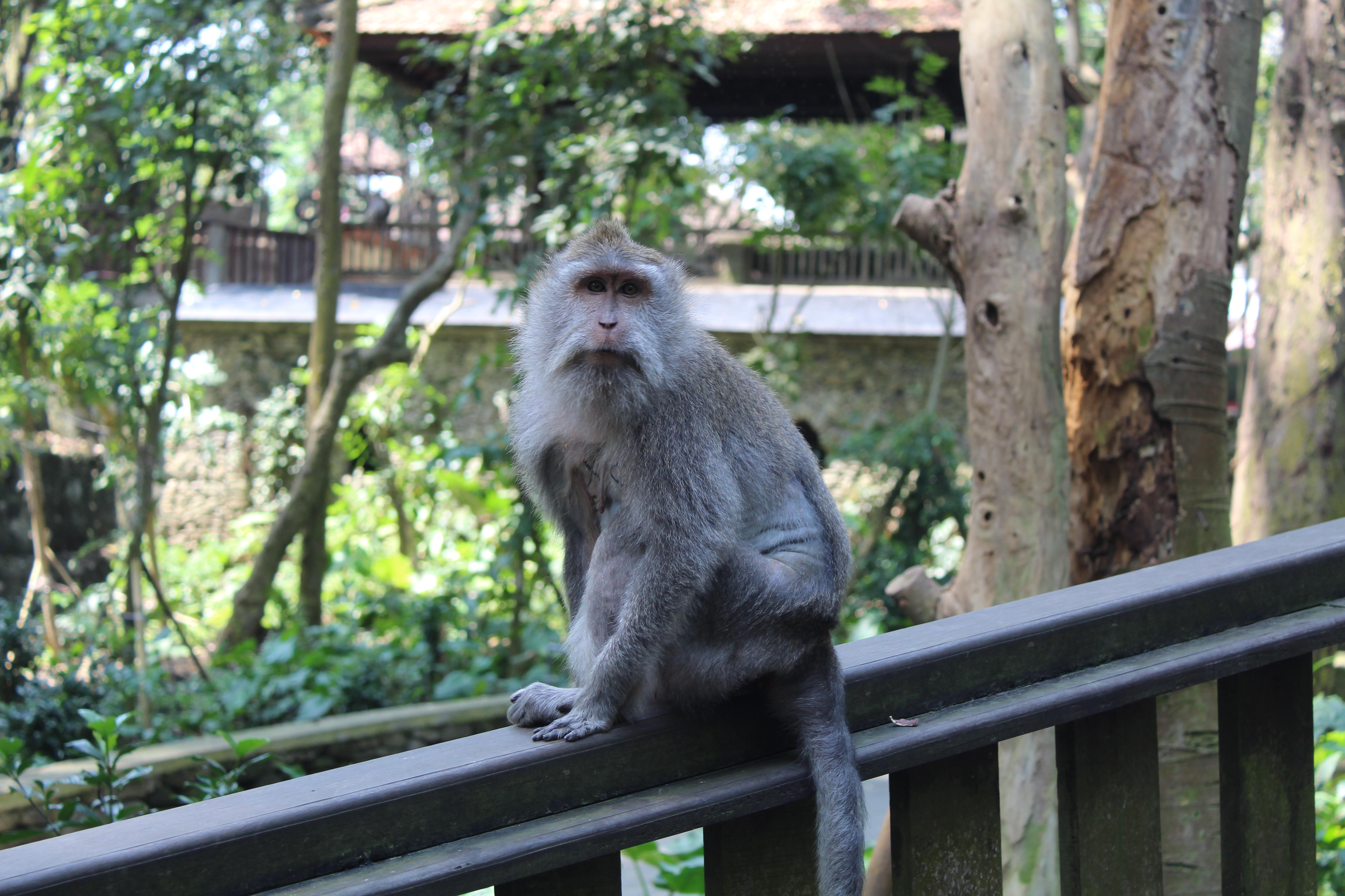 Monkey Forest. Bosque de monos en Ubud