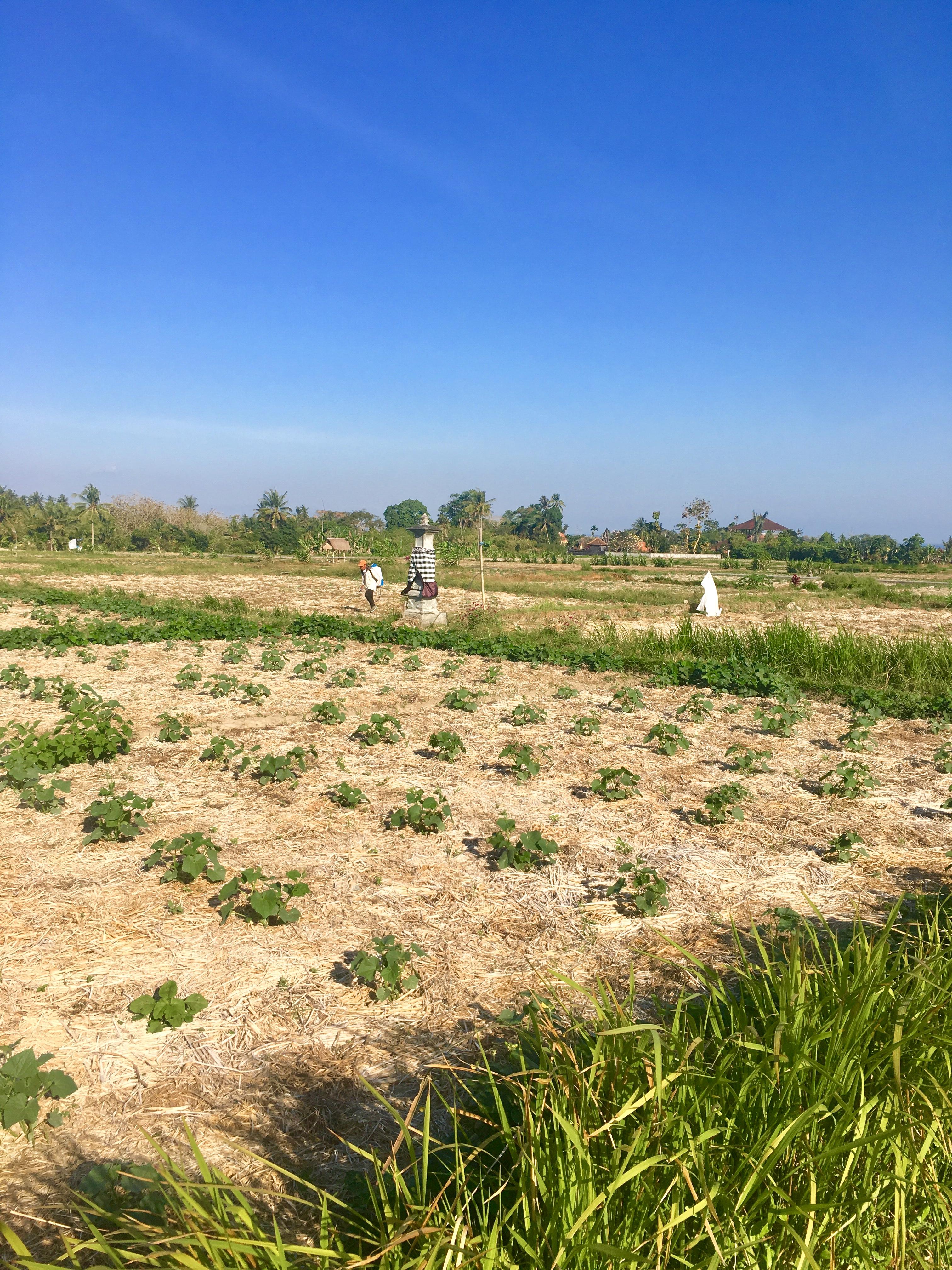 Locales trabajando en los cultivos d ella zona
