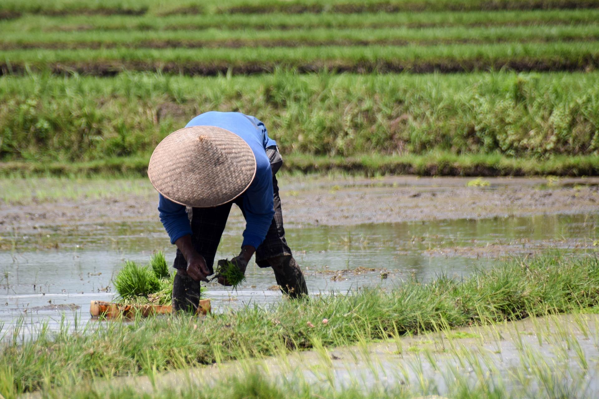 Terraza de arroz Tegallalang